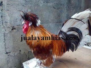 Harga Ayam Poland