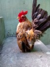 Adult Serama Chicken