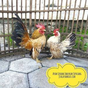 serama chicken care