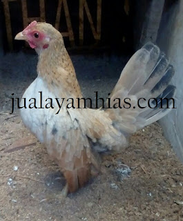 Serama Chicken Age 5 Month