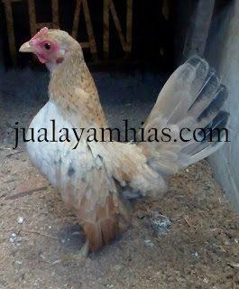Ayam serama usia 5 bulan