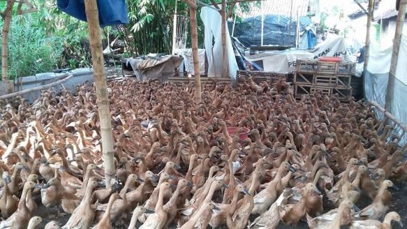 Mengapa Kita Perlu Mencoba untuk Beternak Bebek?