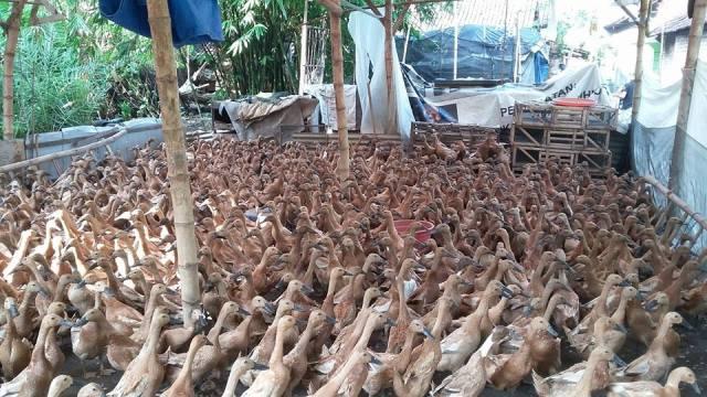 Bebek Mojosari merupakan bebek petelur yang dinggulkan karena produktifitas telurnya yang cukup tinggi. | Image 9