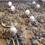 Harga Jual Terbaru DOD atau Bibit Bebek Petelur Jenis Mojosari di 2018
