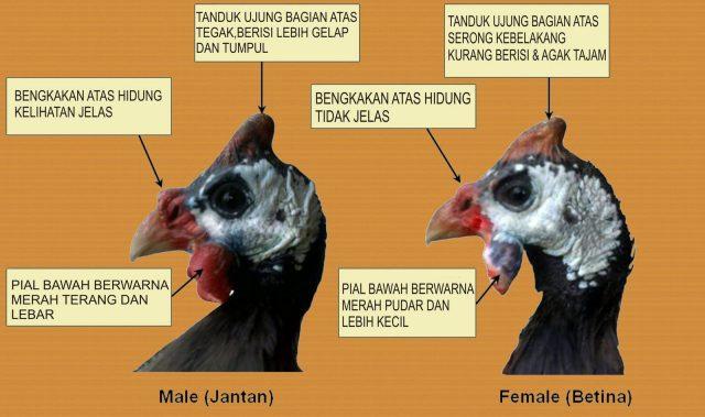 Perbedaan Ayam Mutiara Jantan Dan Betina