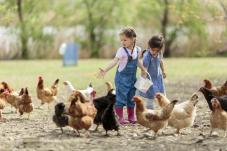 caring for chickens in backyard
