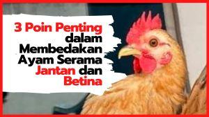 3 Poin Penting dalam Membedakan Ayam Serama Jantan dan Betina