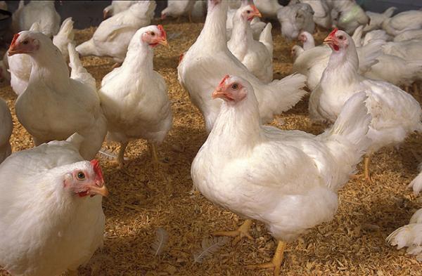 jenis ayam broiler