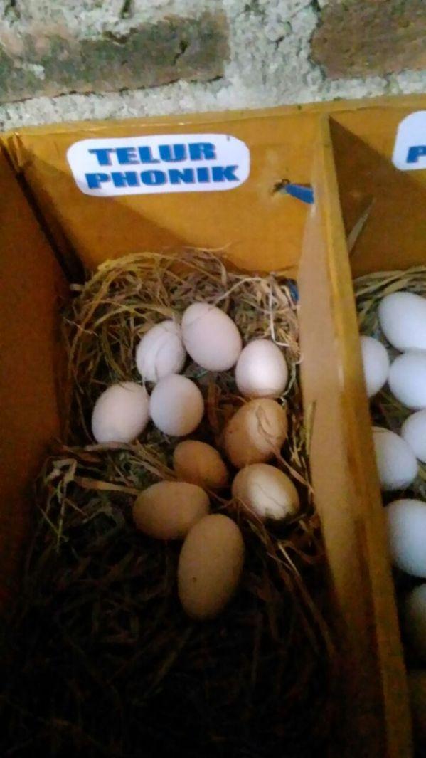 Telur Phoenik