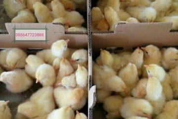 Sedia DOC Ayam Pejantan usia baru saja menetas dan siap kirim ke seluruh wilayah Indonesia