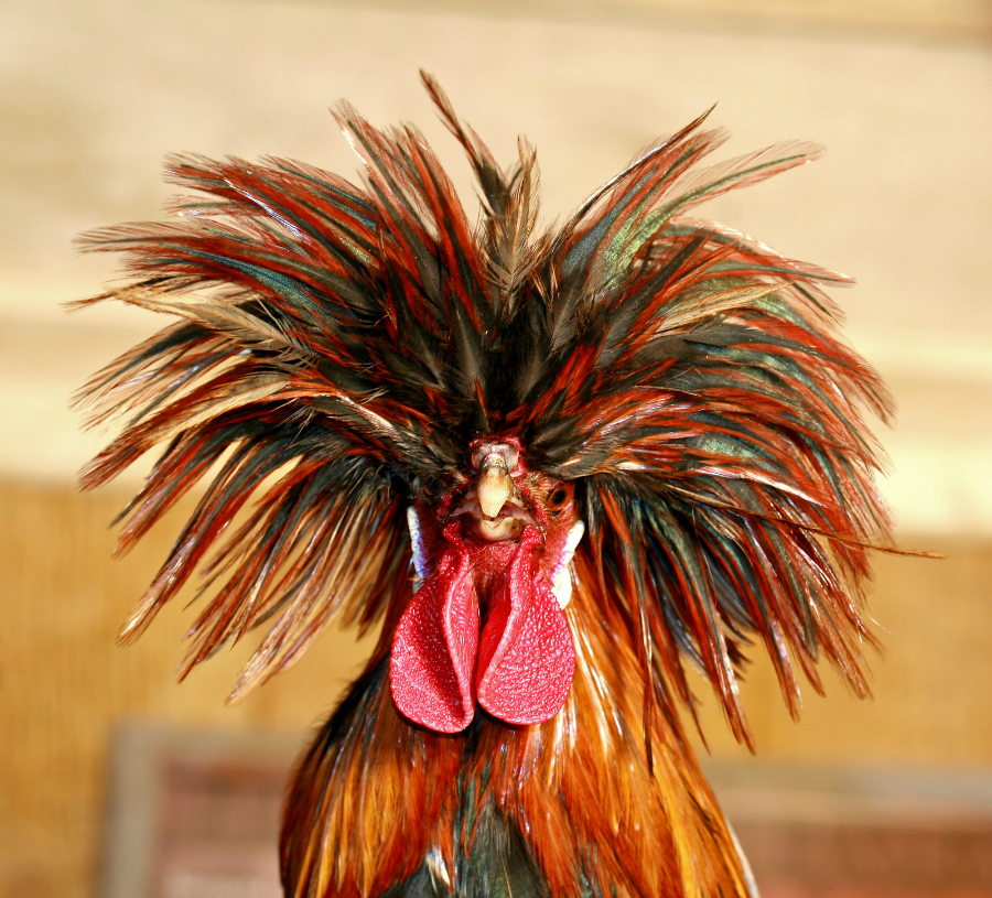Ayam Poland Jantan