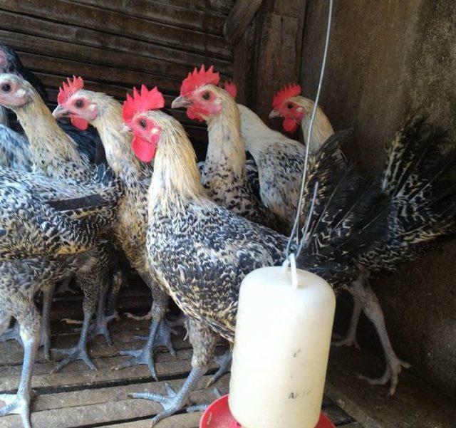 Ciri - ciri ayam arab yang paling mencolok adalah pada bagian bulu kepala yang berwarna putih seperti orang sedang megenakan kain penutup | image 1
