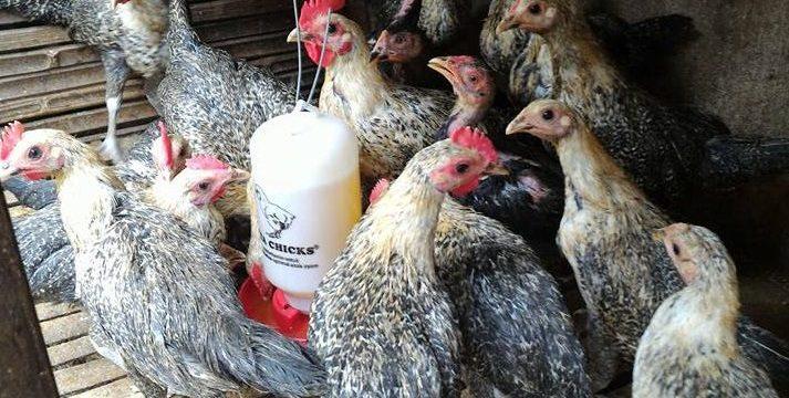 Membandingkan Harga Ayam Arab dengan Ayam Petelur Yang Lainnya
