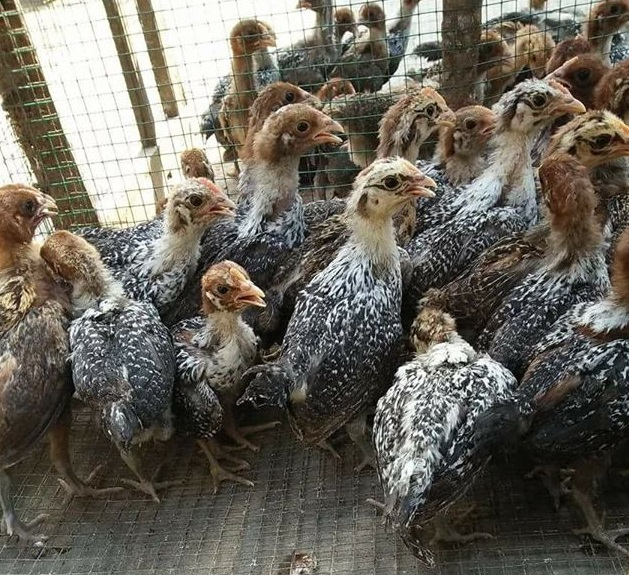 Bibit Ayam Arab Sebagai Petelur Yang Menguntungkan
