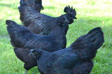 Cemani Chicken