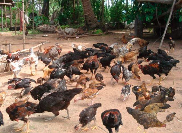 Ayam yang sedang diumbar biasanya akan mengais tanah untuk mencari makanan tambahan   image 1