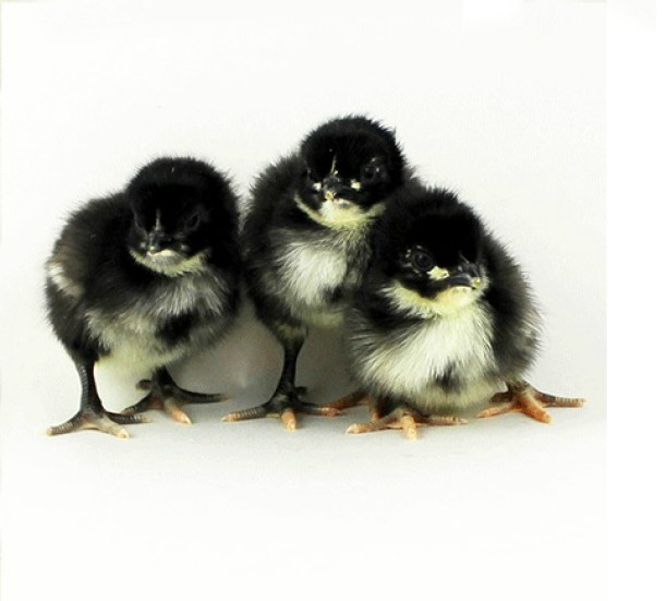 This black chicken name is Black Orpington Baby Chicken, they are from British.