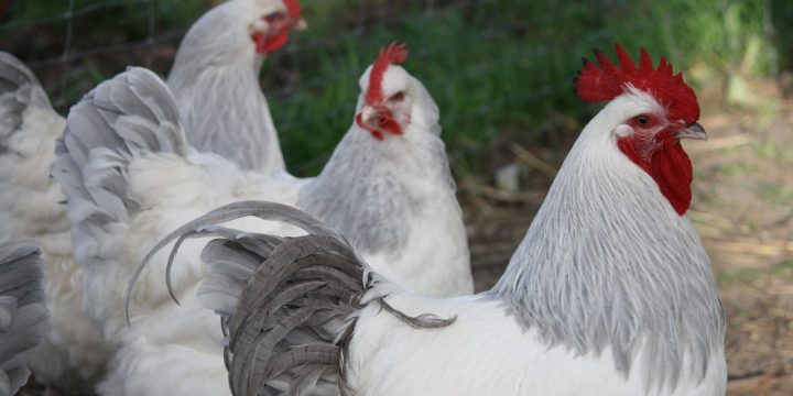 Top 10 Most Expensive Chicken Breeds : Find The Most Expensive Chicken Breeds Around The World That You Should Know!