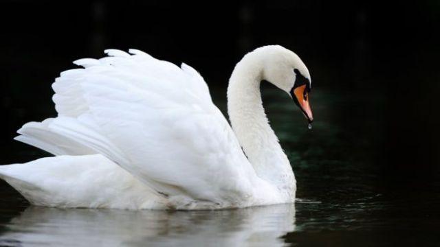 Mute Swan memiliki bulu putih bersih dan anggun | image 2