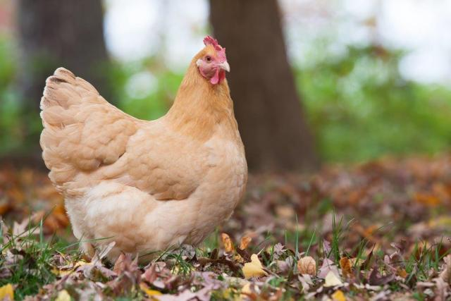 If you want to raise a chicken breeds for eggs and meat need, you can choose Orpington chicken.