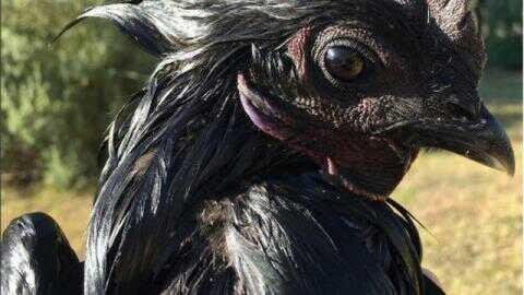 The reason behind the black colors of ayam cemani is caused by the pigmentation factor which called fibromelanosis | Exotic cemani chicken