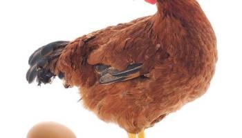 Ayam Jantan Ras Petelur Adalah - Tentang Kolam Kandang Ternak