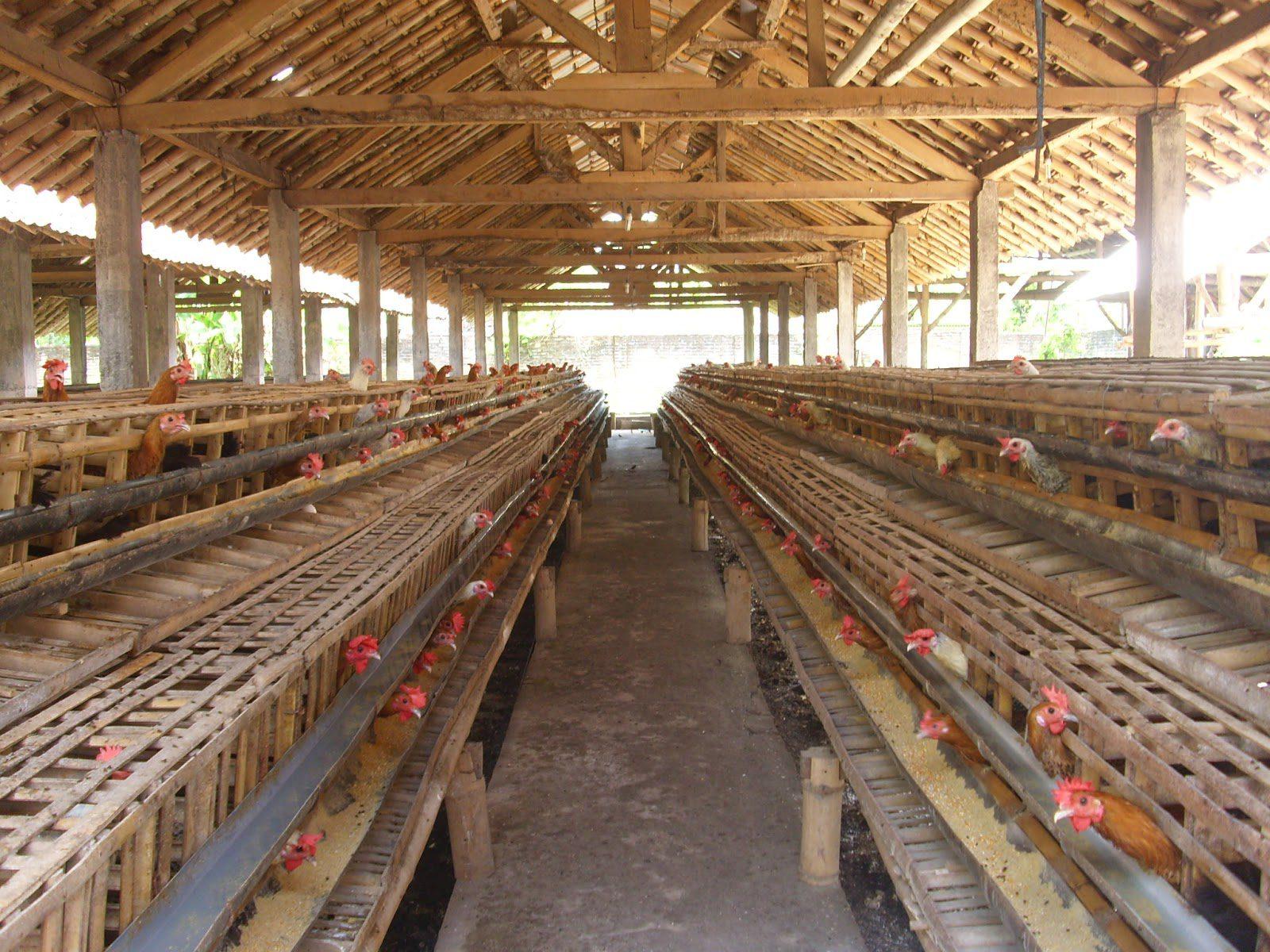 Model Kandang Ayam Petelur, Apa Saja Jenisnya