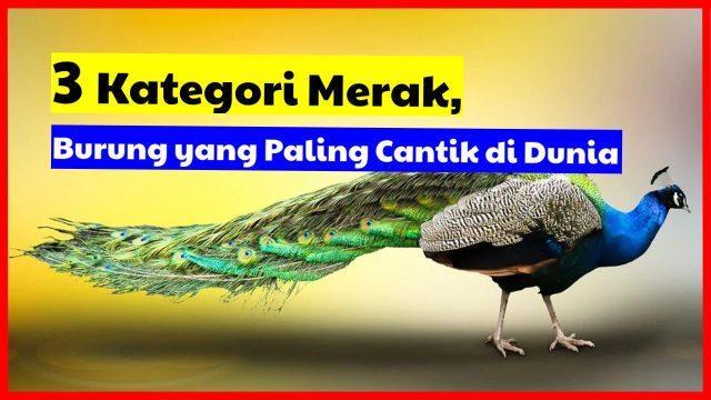3 Kategori Merak, Burung yang Paling Cantik di Dunia