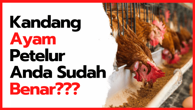 Apakah Kandang Ayam Petelur yang Anda Terapkan Sudah Benar