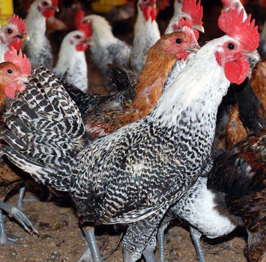 Ayam Arab Dewasa Begerombol di Kandang nya