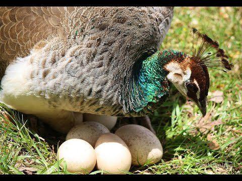 Telur burung merak