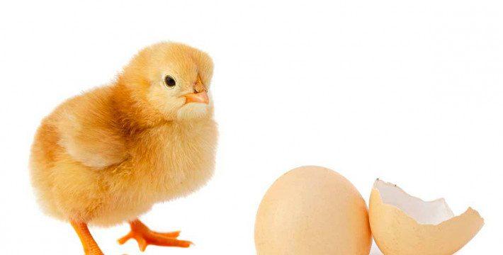 Daftar Harga Jual Terbaru DOC atau Bibit Ayam Petelur di 2019