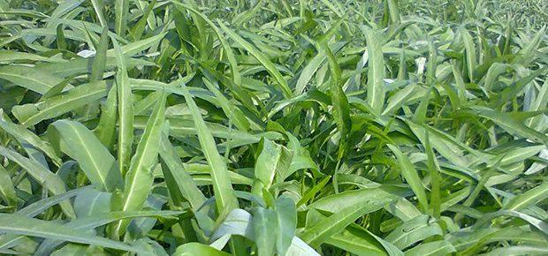 Kangkung menjadi salah satu bahan pakan yang dapat diberikan untuk campuran pakan ternak angsa | Kangkung