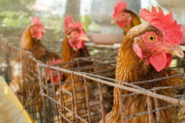 Modal Ayam Petelur