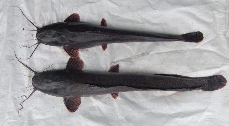 Ikan Lele Mutiara
