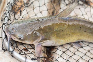 Ikan Lele Siap Panen