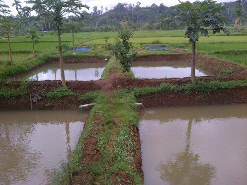 Contoh tanggul pada kolam tanah untuk ternak lele pemula