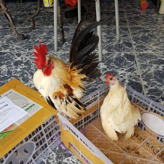 Sedia ayam serama baik serama biasa atau kontes. Bisa kirim ke seluruh wilayah Indonesia hubungi 0812-2028-8686