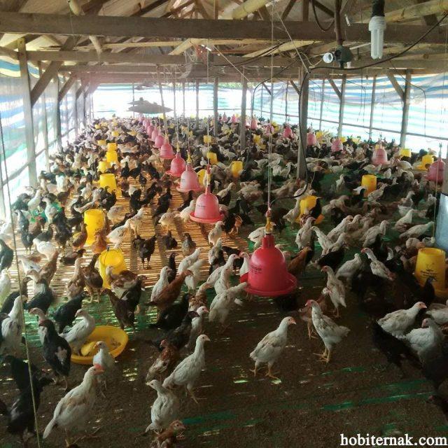 Kandang ayam joper harus diperhatikan tingkat kepadatannya agar pertumbuhannya maksimal.