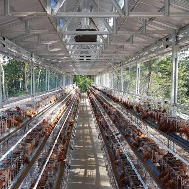 Berikut adalah contoh kandang ayam petelur dengan sistem kandang baterai yang biasa peternak terapkan