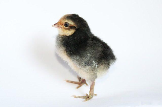 DOC atau Bibit Ayam