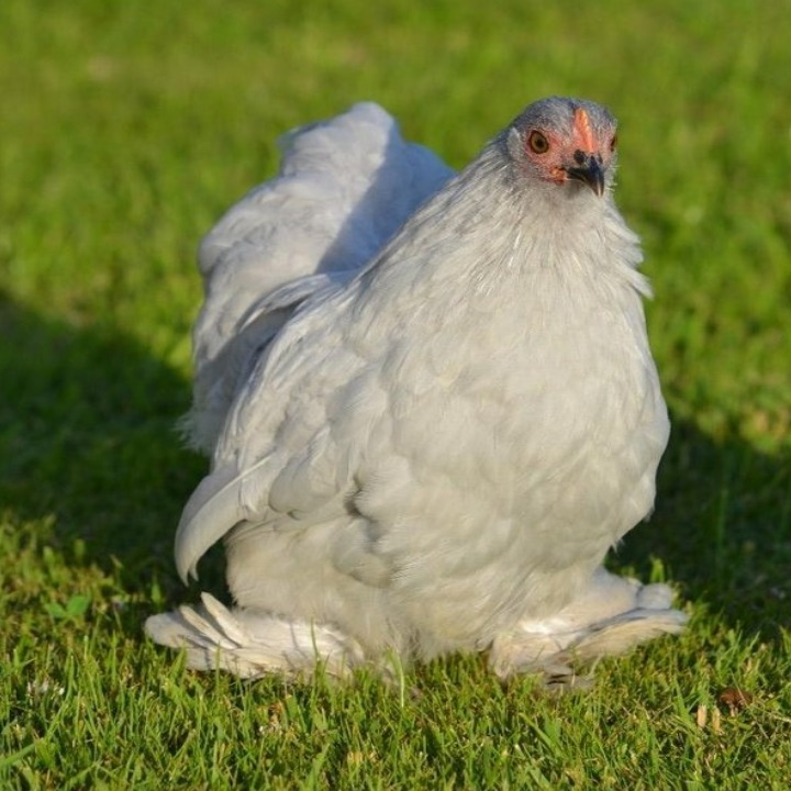 Ayam Cochin