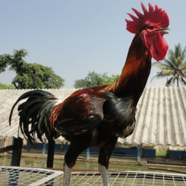 Karena memiliki suara kokok yang panjang, saat ini banyak diadakan perlombaan atau kontes ayam pelung