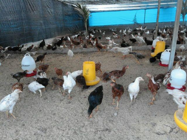kandang ayam joper