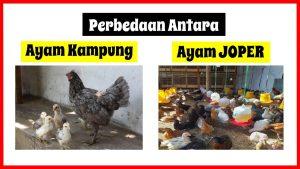 Apa Sih Perbedaan antara Ayam Kampung Super dengan Ayam Kampung Daging Biasa?