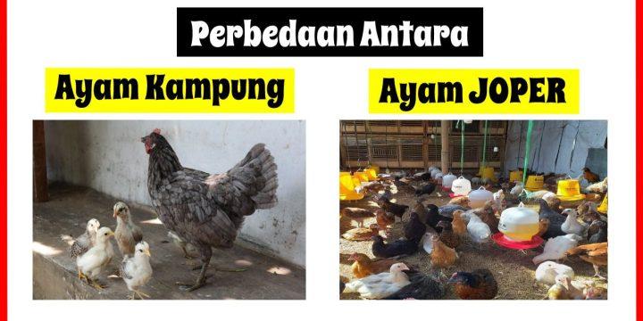 Apa Sih Perbedaan antara Ayam Kampung Super dengan Ayam Kampung Daging Biasa ?