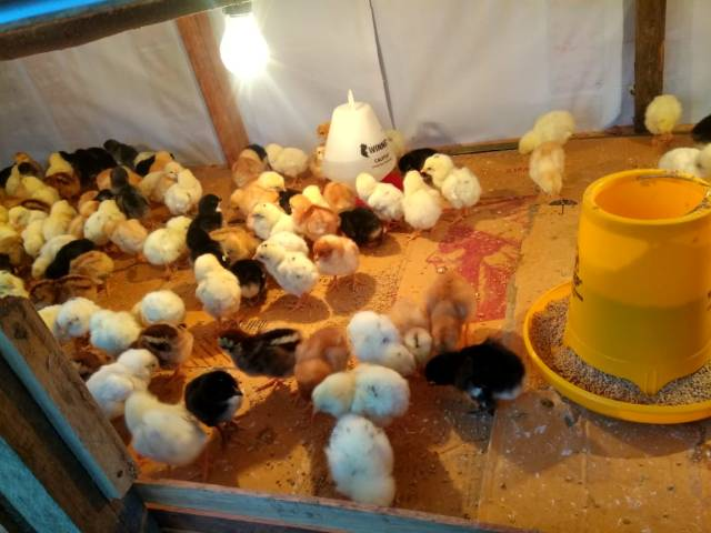 Salah satu jenis ayam yang memiliki daya tahan terhadap penyakit yaitu ayam JOPER / ayam kampung super