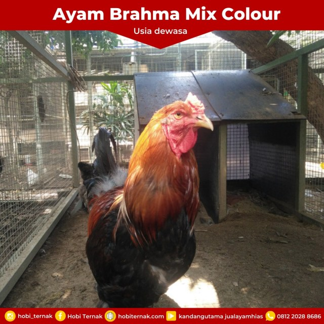 Brahma Mix Colour Usia Dewasa