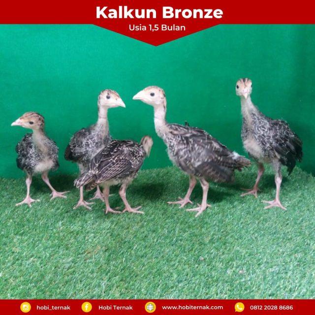 Kalkun Bronze Usia 1,5 bulan