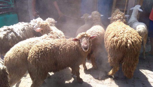 Domba Merino salah satu domba penghasil daging yang cukup banyak